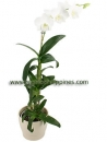 Dendrobium White Surprise